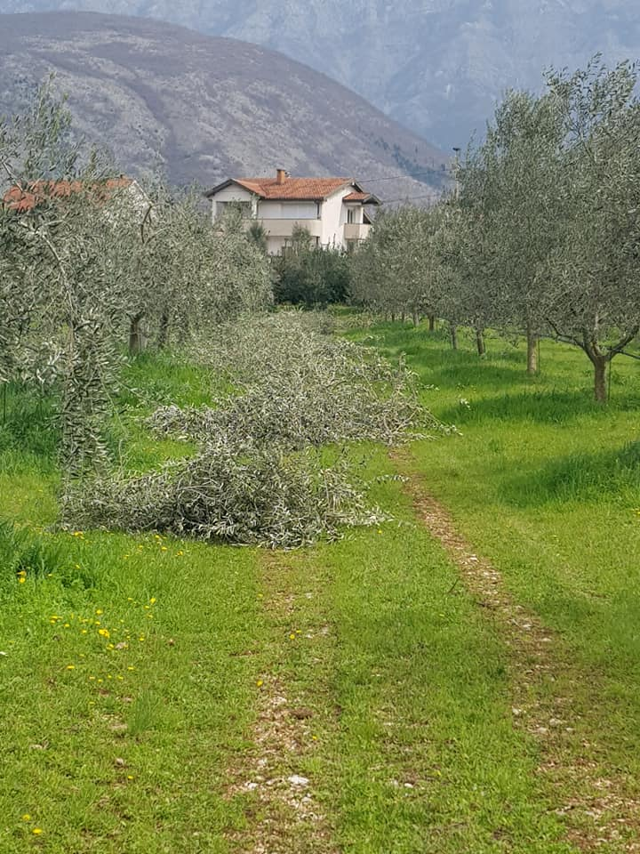 Akcija maslinovih grančica – 2021. godina